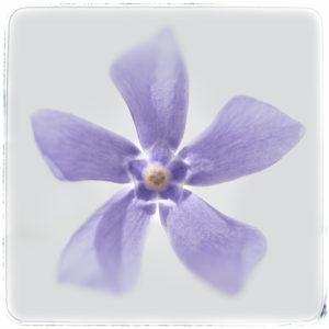 Myrtle-2-Juliane-Spitta-saatchi-art-purple-flower-photography